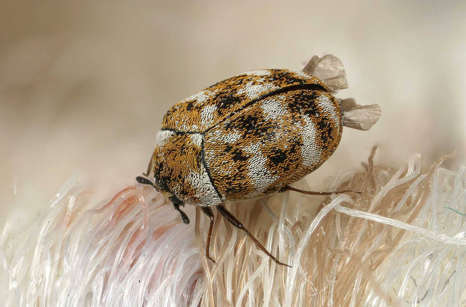 Ipswich pest control for carpet beetles