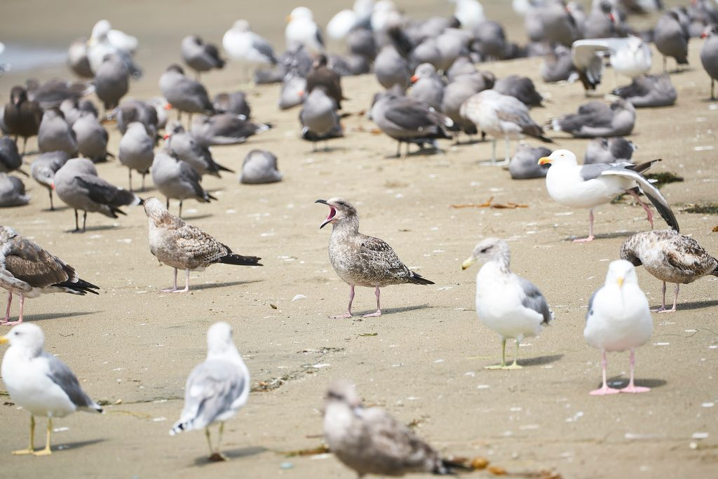 Sea Gull Pest Control Ipswich