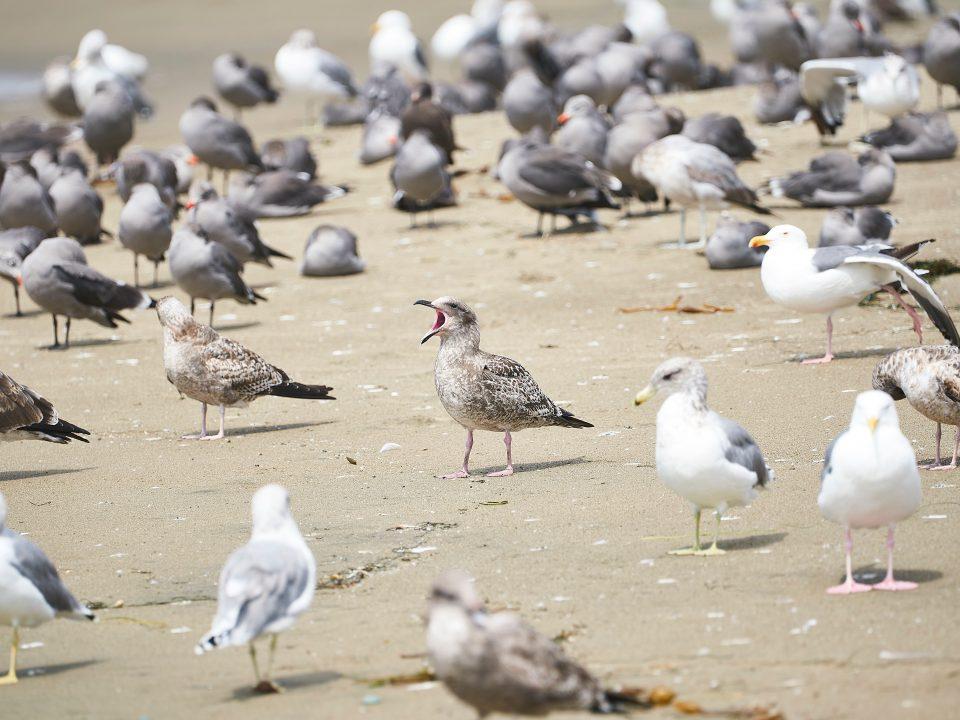 Sea Gull Pest Control Ipswich