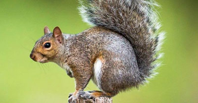 squirrel pest control Ipswich