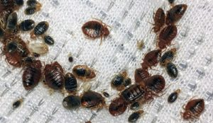 bed bug pest control Ipswich