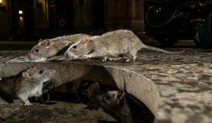 rat pest control Ipswich