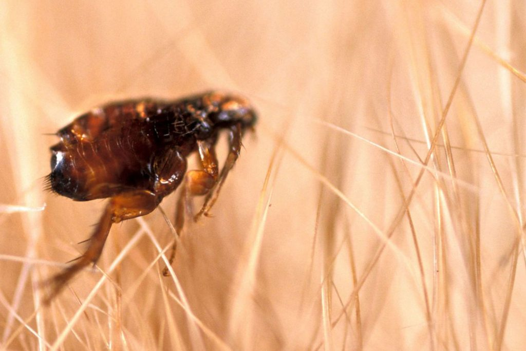 flea and biting insect pest control Ipswich