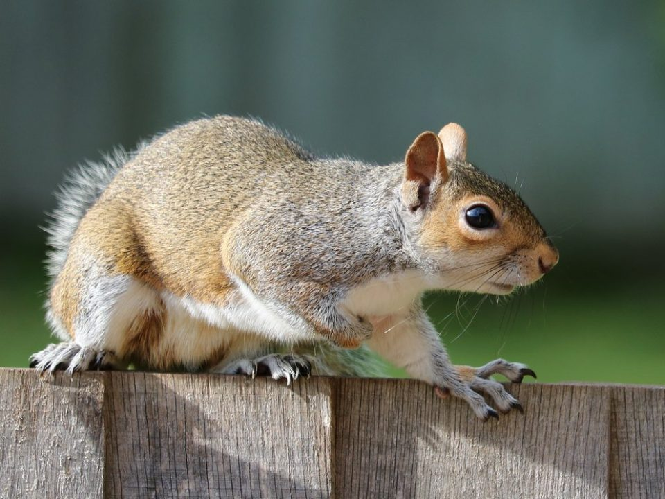 grey squirrel pest control Ipswich