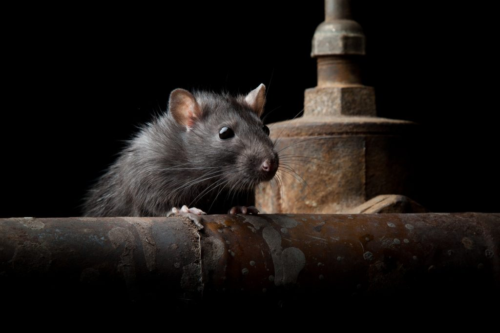 rat pest control during lockdown Ipswich