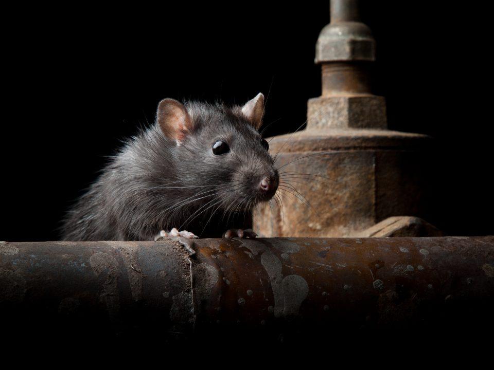 rat pest control during lockdown Ipswich