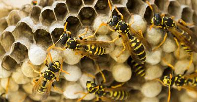 Wasp Pest Control Suffolk