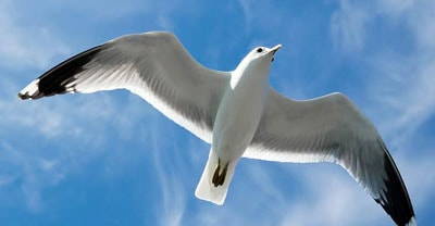 gull pest control