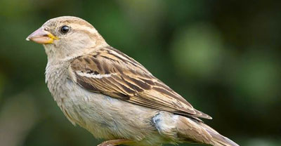house sparrow pest control