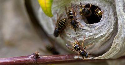 Wasp Pest Control Ipswich