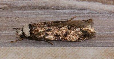Moth Pest Control Ipswich