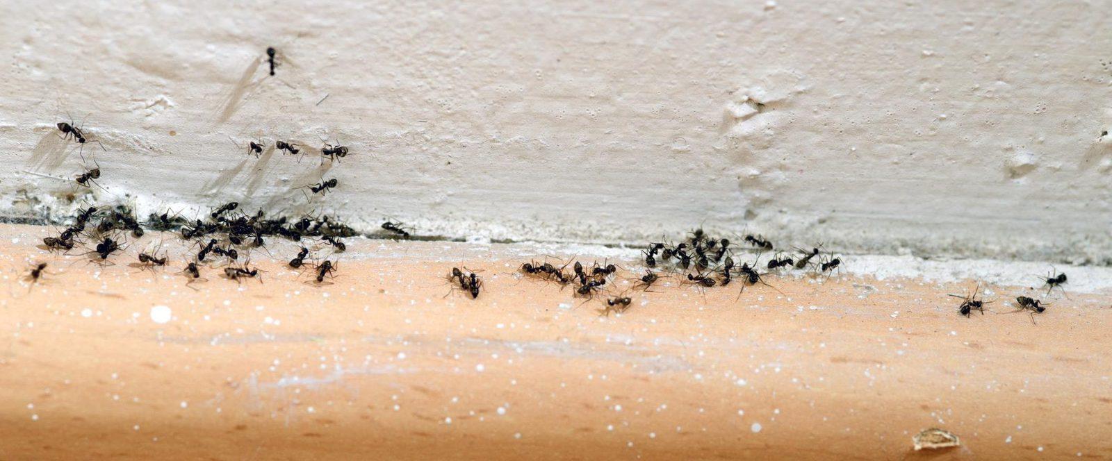 ant extermination Ipswich