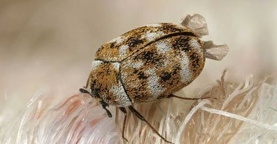 carpet beetle pest control Ipswich