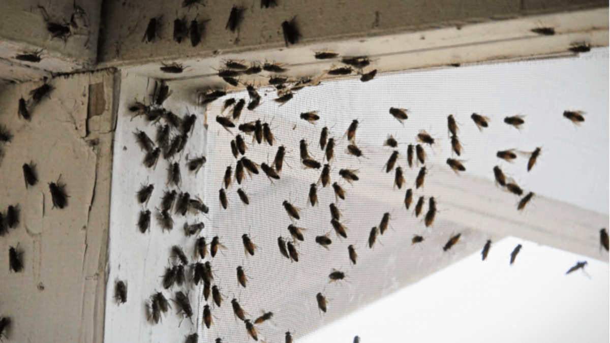 cluster flies in your home