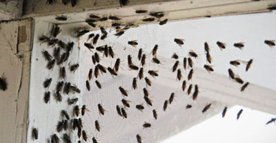 cluster fly pest control Suffolk