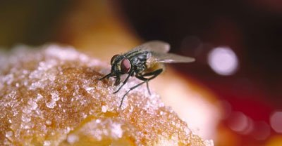 house fly pest control Ipswich
