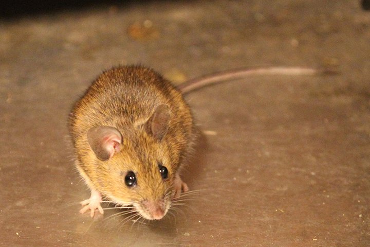 mouse extermination Suffolk