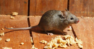 house mouse pest control Ipswich