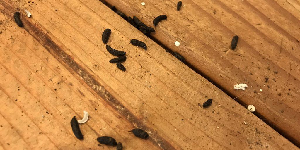 mice extermination Ipswich