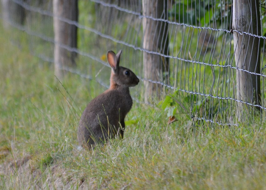 rabbit wildlife solution Suffolk