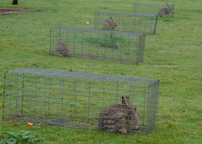 rabit pest removal trap Ipswich