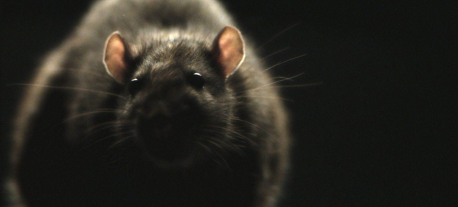 rat pest control Suffolk