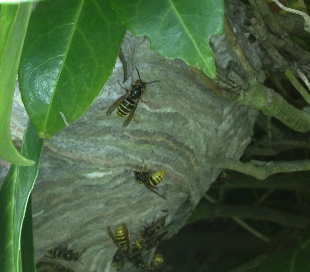identify wasp nest